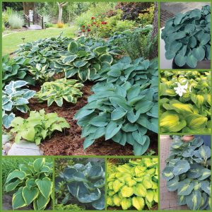 Emerald Isle Novelty Hosta sp 21 image only_web