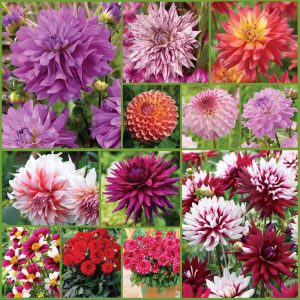 I Love Dahlias Collection sp 21 image only_web