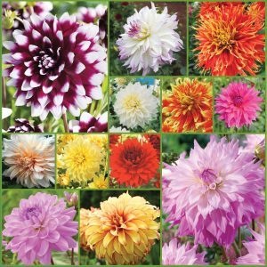 Large Cut Flower Dahlia Collection Sp21 image only_web