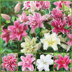 Roselily Radiance Double Oriental Lilies sp21 image only_web