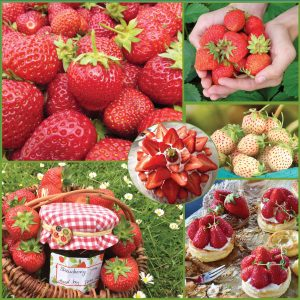 _Sweet Success Strawberries sp21 image only_web