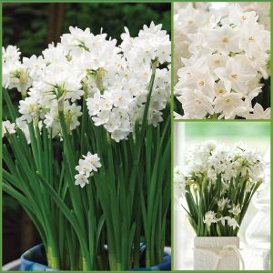 Paperwhite Narcissus Gift Kit CA F21 image only