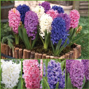 Perfumed Paradise Hyacinths image only
