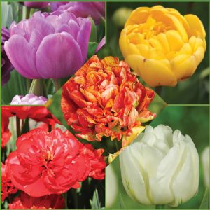 Sweet Scents fragrant double tulips image only